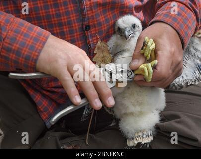 13 May 2020, Brandenburg, Sauen: Silvio Herold of the Arbeitskreis Wanderfalkenschutz e.V. ringed a young peregrine falcon (Falco peregrinus) in the Sauener forest. On the same day, the offspring was ringed in a nest of peregrine falcons. The two volunteers Silvio Herold and Winfried Nachtigall from the Arbeitskreis Wanderfalkenschutz e.V. (AWS) took three chicks from the nest in the top of a mighty pine tree. The 26-day-old young peregrine falcons were measured, weighed and fitted with two rings each. During this time the parent birds circled over the forest area. After 20 minutes, the three