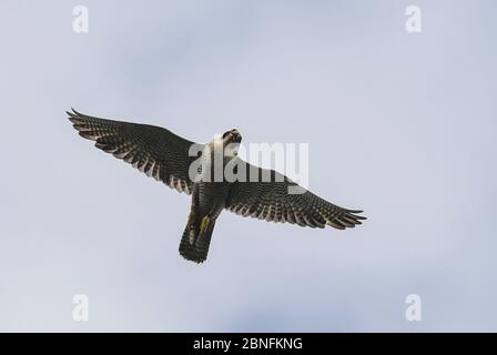 13 May 2020, Brandenburg, Sauen: A peregrine falcon (Falco peregrinus) flies in the sky above the Sauener forest. On the same day the offspring was ringed in a nest of peregrine falcons. The two volunteers Silvio Herold and Winfried Nachtigall from the Arbeitskreis Wanderfalkenschutz e.V. (AWS) took three chicks from the nest in the top of a mighty pine tree. The 26-day-old young peregrine falcons were measured, weighed and fitted with two rings each. During this time the parent birds circled over the forest area. After 20 minutes, the three birds were returned safely to their nest. Photo: Pat