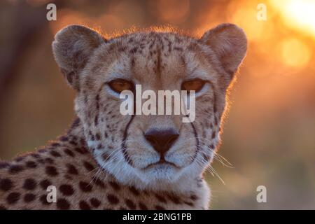 Portrait headshot of an adult female African Cheetah at sunset in South Africa - Stock Photo