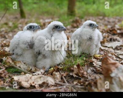 13 May 2020, Brandenburg, Sauen: Three young peregrine falcons (Falco peregrinus) sit on the forest floor in the Sauener Forst. On the same day, the offspring were ringed in a nest of peregrine falcons. The two volunteers Silvio Herold and Winfried Nachtigall from the Arbeitskreis Wanderfalkenschutz e.V. (AWS) took three chicks from the nest in the top of a mighty pine tree. The 26-day-old young peregrine falcons were measured, weighed and fitted with two rings each. During this time the parent birds circled over the forest area. After 20 minutes, the three birds were returned safely to their