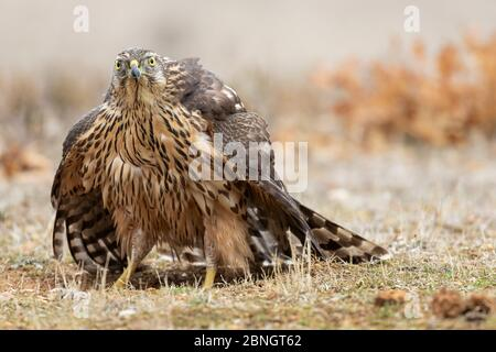 A close-up of a Northern goshawk, Accipiter gentilis, on the ground ready to fly in sunlight on a blurred background. - Stock Photo
