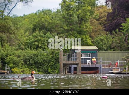 Great crested grebe (Podiceps cristatus) on pond  with chick in front of life guard hut, Hampstead Heath, London, England, UK. May 2014. - Stock Photo
