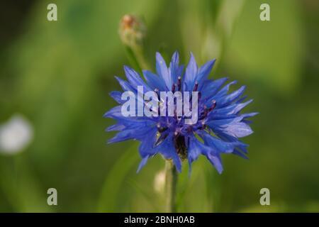 blaue Blüte Stock Photo