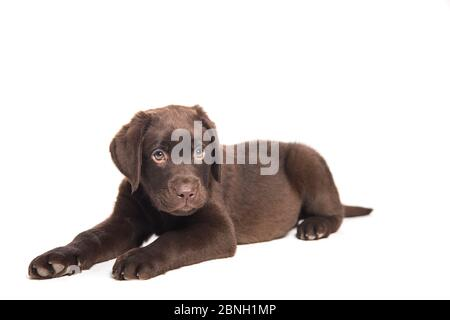 portrait of a crouching dog puppy on a white background intently observing - Stock Photo