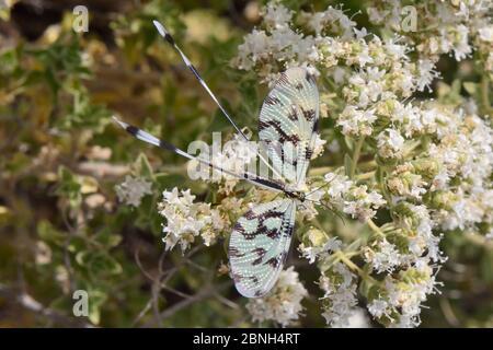 Thread-winged lacewing / Spoonwing lacewing (Nemoptera sinuata) feeding on Cretan oregano flowers (Origanum onites), Lesbos / Lesvos, Greece, May.