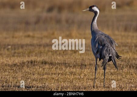 Gallocanta,Zaragoza/Spain; Feb.11, 2019. The migratory passage of the Common Crane (Grus grus) through the Gallocanta Lagoon; one of the rest stops.
