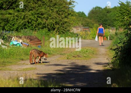 Red Fox (Vulpes vulpes) following person on dirt track,Cardiff, Wales. June.