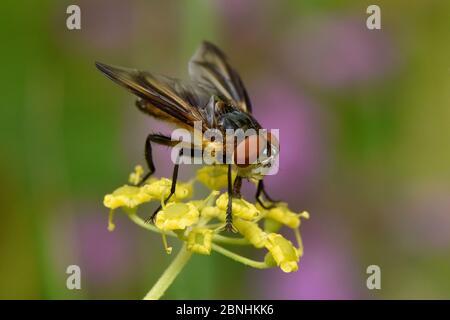 Tachnid fly (Phasia hemiptera) male feeding on flower of wild parsnip (Pastinaca sativa), Oxfordshire, England, UK, August - Stock Photo