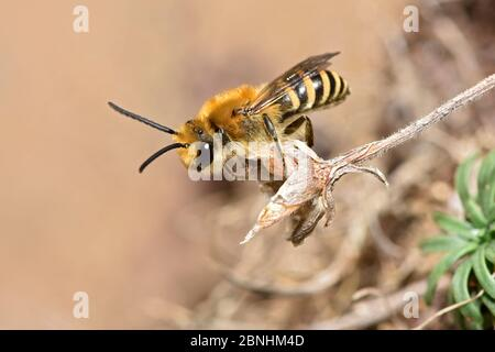 Ivy bee (Colletes hederae) new species to the UK in 2001 this bee has become more widespread across southern England. Cornwall, England, UK, September - Stock Photo