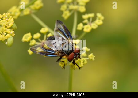 Tachnid fly (Phasia hemiptera) male feeding on flower of wild parsnip (pastinaca sativa), Oxfordshire, England, UK, August - Stock Photo