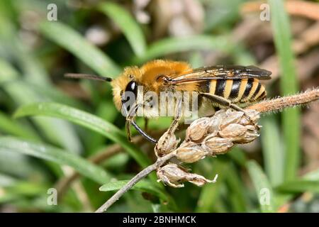 Ivy bee (Colletes hederae) new species to the UK in 2001 this bee has become more widespread across southern England, Cornwall, England, UK, September - Stock Photo