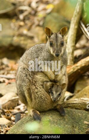 Allied rock-wallaby (Petrogale assimilis) female with young inside of the pouch, Bowling Green NP, Queensland, Australia. May. - Stock Photo