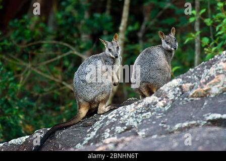 Allied Rock-wallaby (Petrogale assimilis) male and female pair, Bowling Green NP, Queensland, Australia. May. - Stock Photo