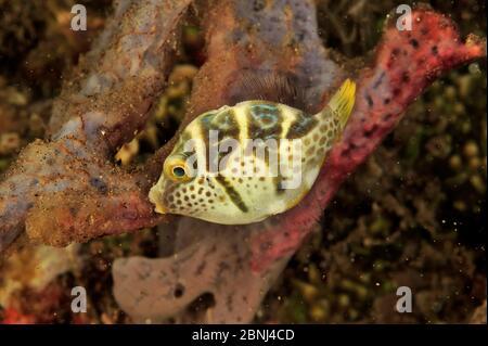 False / Mimic puffer / Blacksaddle filefish (Paraluteres prionurus) Sulu Sea, Philippines