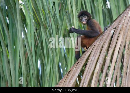 Black-handed spider monkey (Ateles geoffroyi) Corcovado National Park, Osa Peninsula, Costa Rica. IUCN Red List Endangered species. - Stock Photo