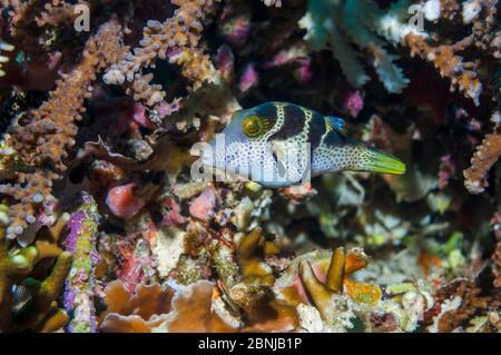 Mimic leatherjacket / Blacksaddle mimic OR Mimic filefish or False puffer (Paraluteres prionurus) showing 'file'.  It mimics the poisonous Black saddl