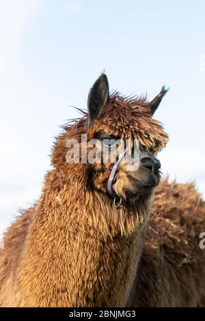 Close up head shot of a brown fleeced Alpaca Vicugna pacos on an upland hill farm in Huddersfield, West Yorkshire.