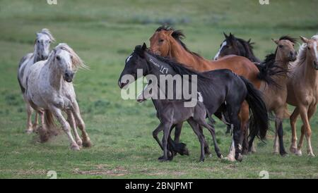 Two formerly wild Mustang stallions drive mares and a foal at Black Hills Wild Horse Sanctuary, South Dakota, USA. June. - Stock Photo