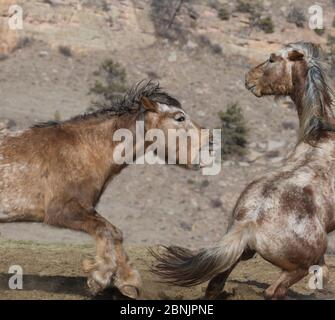Two formerly wild Mustang stallions, fight for dominance at Black Hills Wild Horse Sanctuary, South Dakota, USA. - Stock Photo