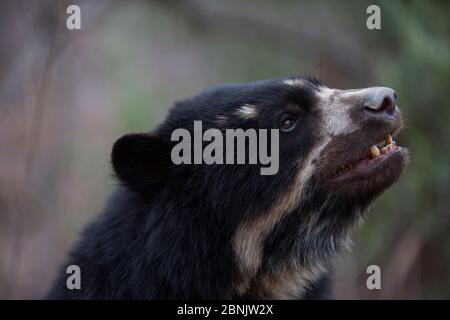 Spectacled bear (Tremarctos ornatus) Chaparri Ecological Reserve, Peru - Stock Photo
