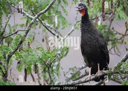 White-winged guan (Penelope albipennis) Chaparri Ecological Reserve, Andes, Peru - Stock Photo