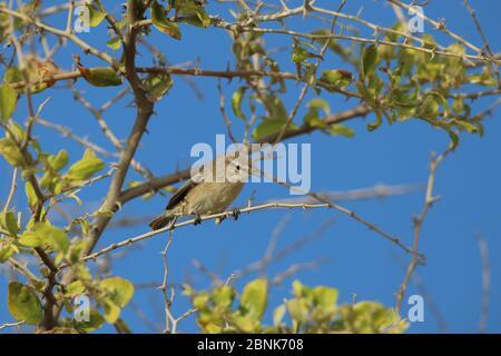 Plain leaf warbler (Phylloscopus neglectus) Oman, October - Stock Photo