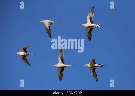 Spotted sandgrouse (Pterocles senegallus) flock in flight, Oman, January - Stock Photo