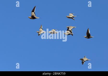 Chestnut bellied sandgrouse (Pterocles exustus) flock in flight, Oman, February - Stock Photo