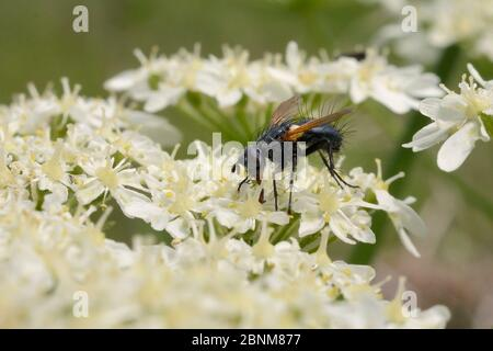 Parasite fly / Tachinid fly (Zophomyia temula), a nationally scarce species, feeding on Common hogweed (Heracleum sphondylium) on grassland meadow cle - Stock Photo