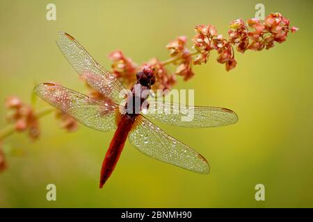 Male Scarlet dragonfly (Crocothemis erythraea) covered in dew, La Brenne Regional Natural Park, France, June. - Stock Photo