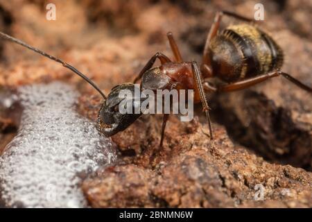Ferruginous carpenter ant (Camponotus chromaiodes) worker feeding at alcohol flux - fermented sap of  white oak tree (Quercus sp) - Fort Washington St - Stock Photo