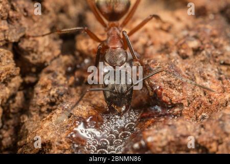 Ferruginous carpenter ant (Camponotus chromaiodes) worker feeding at alcohol flux - fermented sap - on white oak (Quercus sp) trunk, Fort Washington S - Stock Photo