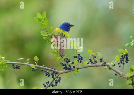 Painted Bunting (Passerina ciris), adult male perched on Elbow bush (Forestiera pubescens) with berries, Hill Country, Texas, USA. May - Stock Photo