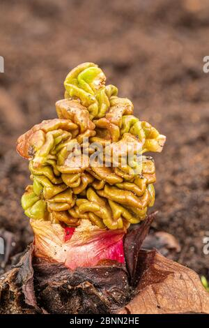 New rhubarb leaf emerging from a bud, young rhubarb shoots - Stock Photo