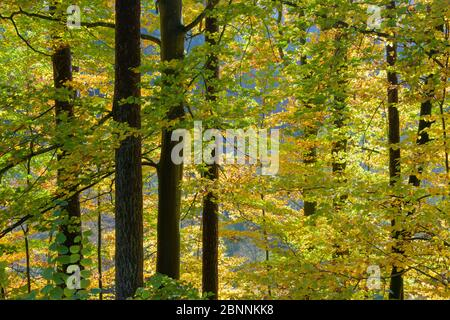 Colorful beech forest in autumn, Odenwald, Hesse, Germany - Stock Photo