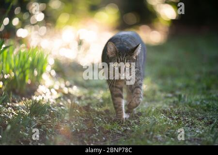 tabby cat on the prowl looking walking towards camera in the sunny back yard