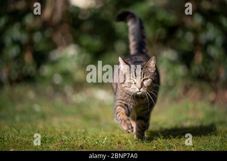 tabby domestic shorthair cat looking walking towards camera on grass in sunlight