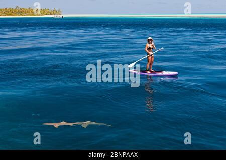Reef sharks next to woman on stand-up board in the lagoon of Tetamanu Village, Fakarava, Tuamotu Archipelago, French Polynesia