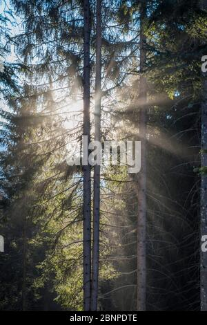 light that filters through the trees, coniferous forest, belluno, dolomites - Stock Photo