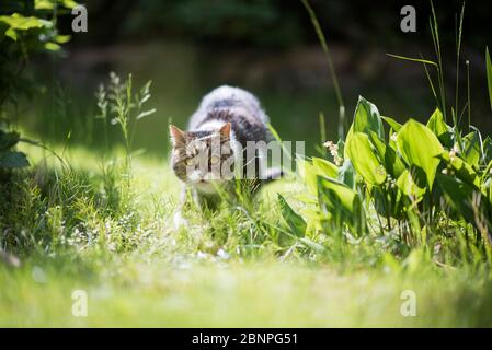 tabby white british shorthair cat walking towards camera on meadow in sunlight