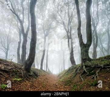 Hollow path through mysterious forest in the fog, bizarre overgrown beech trees, autumn, Ore Mountains, Czech Republic - Stock Photo