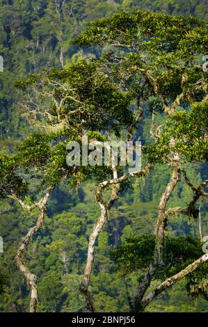 Beautiful rainforest trees at Cerro Pirre, Darien national park, Darien province, Republic of Panama.
