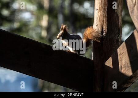 Squirrel basks on railings - Stock Photo