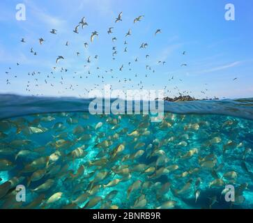 Colony of gulls flying in the sky and a school of fish underwater, split view over and under water surface, Mediterranean sea, Spain, Costa Brava - Stock Photo