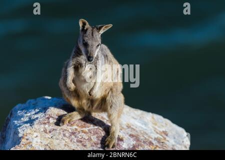 Allied rock-wallaby (Petrogale assimilis) sun baking among the dam wall rocks of Ross River Dam in Townsville, Queensland, Australia. - Stock Photo