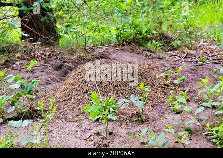 Big anthill in the forest, northern Germany.
