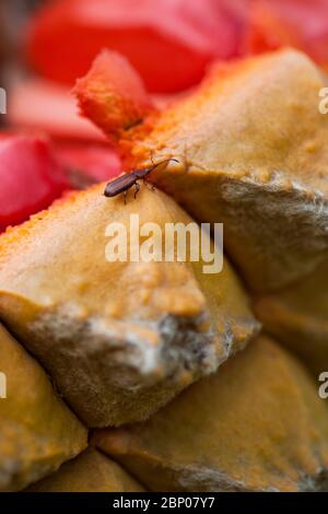 A close-up of a cycad strobilus with bright red sarcotesta on an Encephalartos species with a female Cycad Weevil is visible on one of the scales. - Stock Photo