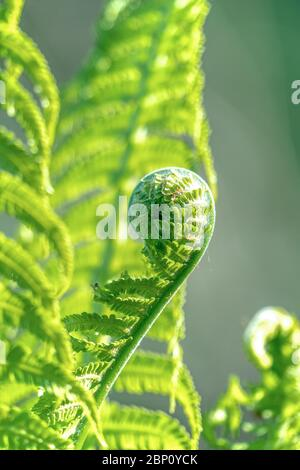 Close up of lush green ferns in bright spring sunshine - Stock Photo