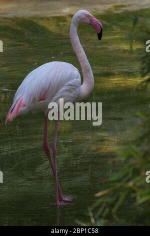 Red flamingo on one leg, naturalistic image - Stock Photo