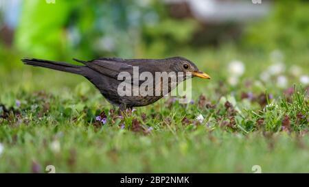 Amsel (Turdus merula) Weibchen - Stock Photo